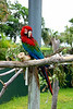 Red-and-green Macaw aka Green-winged Macaw