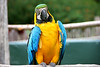 Blue and Gold Macaw aka Blue and Yellow Macaw