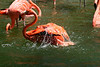 <b>Caribbean Flamingo</b> <i>(Phoenicopterus ruber ruber)</i> - There are many flamingo photos this go-round.  I was just so mesmerized watching them bathe themselves.  As you can see, the water is very shallow so watching these beautiful creatures go down into the water just fascinated me and then the sound of the wings flapping against the water - well, it was a spectacle to behold :)<br> <br> The Caribbean Flamingo, also called the American flamingo, is the most brightly colored and largest of all flamingos.  With their bright feathers and strongly hooked bills, flamingos are among the most easily recognized waterbirds. Their pink or reddish color comes from the rich sources of carotenoid pigments (like the pigments of carrots) in the algae and small crustaceans that the birds eat. The Caribbean flamingos are the brightest, showing their true colors of red, pink, or orange on their legs, bills, and faces. They are a scarlet pink color overall and have black primary feathers. Their bill is downward bending at its midpoint. They have large bodies and flexible long necks topped with a small head. The flamingo's long legs and feet are bare, and their toes are webbed, which is good for wading. Young birds are mostly grey and do not develop their characteristic pink until after the first year. The sexes are similar in appearance.