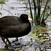 American Coot - St. Mark's National Wildlife Refuge, FL