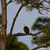 Bald Eagle, near Apalachicola National Forest, FL