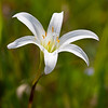 Zephyr Lily - St. Mark's National Wildlife Refuge, FL
