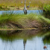great blue heron poses in florida wetlands
