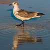 closeup of a seagull walking by the foreshore