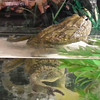 """African Mouse-eating Bullfrog (Pyxicephalus adspersus) - Cochran Mill Nature Center<br /> This frog was huge!  An average adult male can weigh up to 3.1 lb (1.4 kg ) and are 10 inches (25.4 cm) long but they can tip the scale at 4.4 lb (2 kg). Females are much smaller than males, at half the weigh and only 6 inches (15.2 cm) long. This is surprising since most frogs and amphibians have a larger female. This African bullfrog is one of 3 frog species that have sharp teeth and can bite a human hand if provoked. They are aggressive. They like to eat small rodents and birds, insects, snakes, baby cobras and even other frogs and amphibians. Source:  <a href=""""http://www.fun.yukozimo.com"""">http://www.fun.yukozimo.com</a>"""