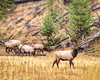 11 point dominant buck guarding the harem; elk; Madison River, Yellowstone; 8x10