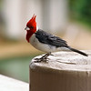 Perching Hawaiian Cardinal (Red Crested Cardinal)
