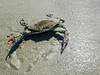 A blue crab on the beach in Sea Pines, Hilton Head Island, SC.