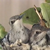Young hummingbirds nesting on pomelo tree.