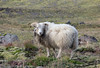 This sheep and its companion weren't bothered by having us close by.