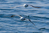 Two Fulmars Flying Over the Ocean