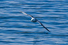 Fulmar Drags his Wing Tip Through the Waters of Husavik Bay
