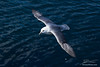 Fulmar from Above