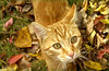 Sluiceway the Cat in the fall leaves