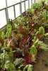 Chard in the greenhouse