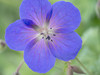 Meadow Cranesbill, Gardens of Powerscourt, County Wicklow