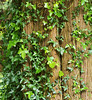 Ivy, Gardens of Powerscourt, County Wicklow