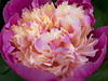 Peony, Gardens of Powerscourt, County Wicklow