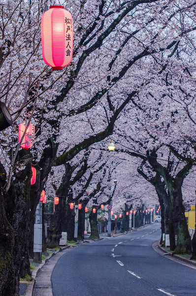 Cherry Blossoms and Lanterns in Matsudo