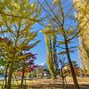Kawaguchiko Ginko Trees