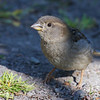 House sparrow, gråspurv, Passer domesticus, female, Abisko (S), July-2014