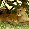 Kenya, lion, lions, panthera leo, cat, cats, big cats, Lake Nakuru, Nakuru , africa , nature
