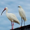 Ibis and Snowy Egret
