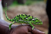 Cameleon. Marangu village, Moshi district, Tanzania.