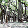 The Great Banyan Tree is an immense tree with all branches and roots growing from one trunk. It is impossible to photograph the tree in its entirety.