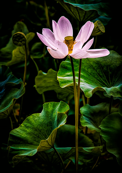 2014-08-07_Naksan-sa_Lotus_Bloom_HDR-2620-
