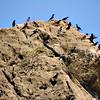 Tristram's Starlings