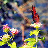Plain Tiger butterfly on lantana