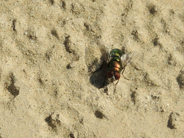 Green Bottle Blowfly