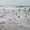 The flock of Plover Take Wing