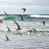 Plover, large flocks feed in the surf