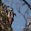 Greater Spotted Woodpecker, Morocco
