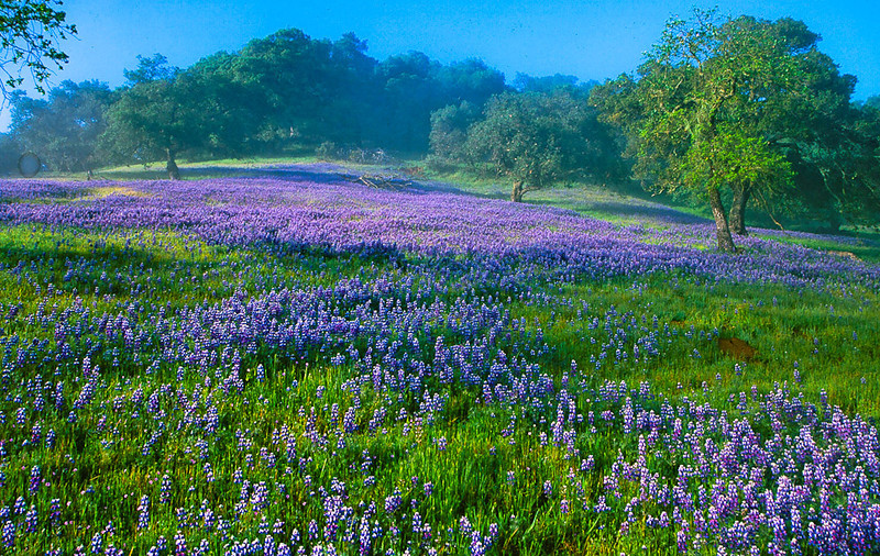 Lupine Hillside Napa Valley, California