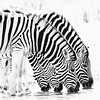 A group of zebras gathers at the waterhole.