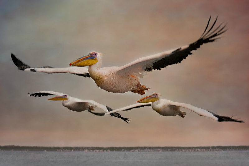 Great White Pelican.  While still in the harbor, our guide fed several of these pelicans.  They expected to be fed later during the tour and began following us.  Soon after this picture, they landed on our boat. These large birds can have a wingspan from 7 to 10 feet and the adult males can weigh from 20-30 lbs.