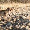 A juvenile lion, the only one we sighted.  Although we did hear one rumbling under our cabin at the end of our safari.  This one was well camouflaged as it lay in the sun but easily spotted by Elvis, our guide.
