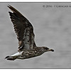 Juvenile Kelp Gull in flight