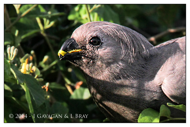 Grey Go-away-bird