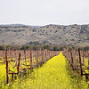 Napa vines and blooming mustard
