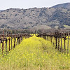 A row of grape vines and blooming mustard
