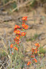 The Apricot Mallow was found all over the Chaco Canyon.