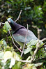 New Zealand Wood Pigeon (on trail to Cathedral Cove on the Coromandel Peninsula)