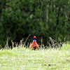 Peeking Pheasant (Pheasant coming over the hill on backroad on Coromandel Peninsula)