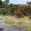 Pohutukawa trees in full bloom on the short unpaved extension of Ahu Ahu Road paralleling the coast.