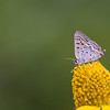 Hairstreak