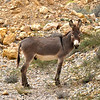 One of Oman's Many Free-Ranging Donkeys